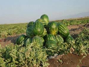 برداشت هندوانه از مزارع شهرستان ارزوئيه