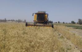آغاز برداشت گندم از سطح بیش از ۱۴ هزار هکتار در شهرستان رودبار جنوب
