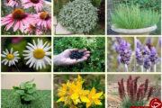 برداشت سالانه بیش از 14 هزار تن گیاه دارویی از اراضی استان کرمان