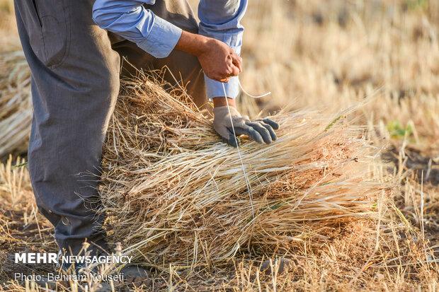 رئیس بنیاد ملی گندمکاران به مهر خبر داد؛ تشکیل شورای تعیین قیمت تضمینی محصولات کشاورزی