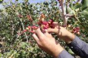 نماینده انجمن پسته ایران در انجمن خشکبار جهانی:  تغییرات جوی جوانههای سال آینده را هم از بین برده است